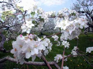 Londonderry apple blossoms and Senior Care Services
